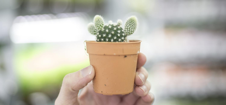 mini cactus craquant