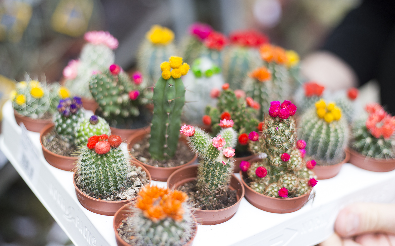cactusie
