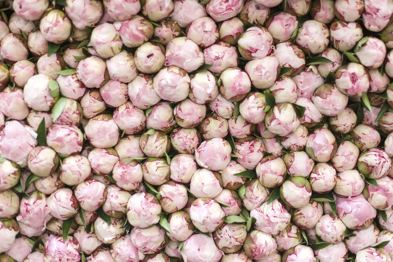 boutons de rose au marché de Rungis